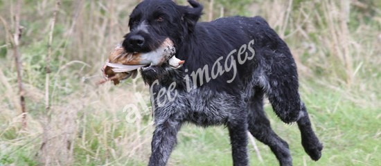 German Wire Haired Pointers