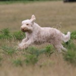 spinone (1)