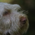 spinone (10)