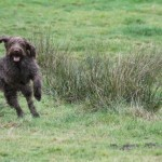 spinone (101)