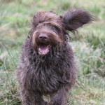 spinone (103)
