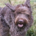 spinone (104)