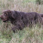 spinone (105)