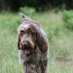 spinone (11)