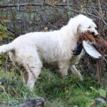 spinone (116)