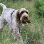 spinone (12)