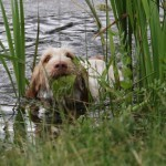 spinone (120)