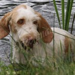 spinone (121)
