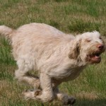 spinone (16)