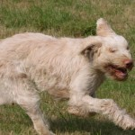 spinone (17)
