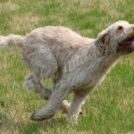 spinone (19)