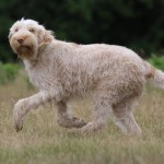spinone (2)