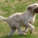 spinone (20)