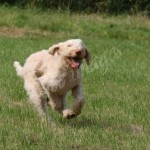 spinone (21)
