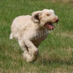 spinone (24)