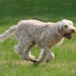 spinone (29)