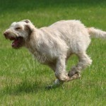 spinone (30)