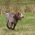 spinone (32)