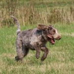 spinone (33)