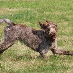 spinone (34)