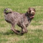 spinone (35)