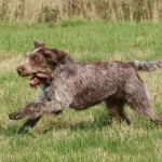 spinone (36)