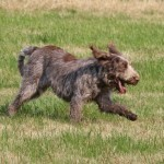 spinone (40)