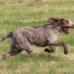 spinone (41)