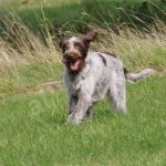 spinone (47)
