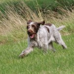spinone (48)