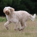 spinone (5)