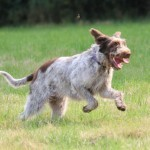 spinone (51)