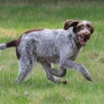 spinone (53)