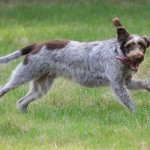 spinone (54)