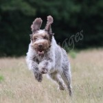 spinone (6)
