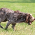 spinone (60)