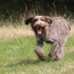 spinone (63)
