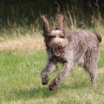 spinone (64)
