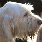 spinone (68)
