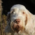 spinone (69)
