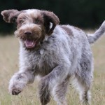 spinone (7)