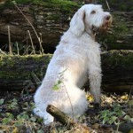 spinone (70)