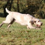 spinone (75)