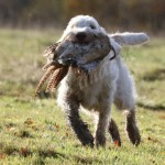 spinone (78)