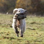 spinone (79)