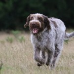 spinone (8)