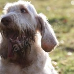 spinone (82)