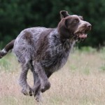 spinone (9)