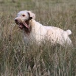 spinone (90)